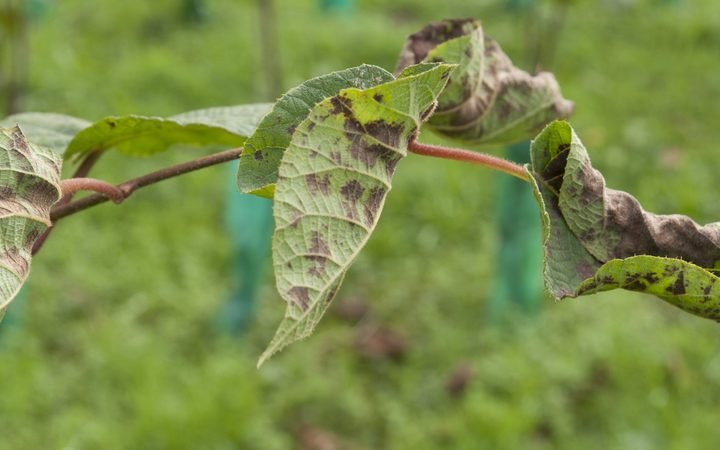 A kiwifruit vine infected with Psa.