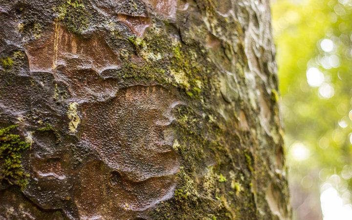 Close up of a Kauri tree trunk in the Waipoua Forest