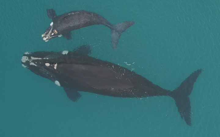 Mother and calf southern right whales, photographed from a research drone at the Auckland Islands breeding grounds.