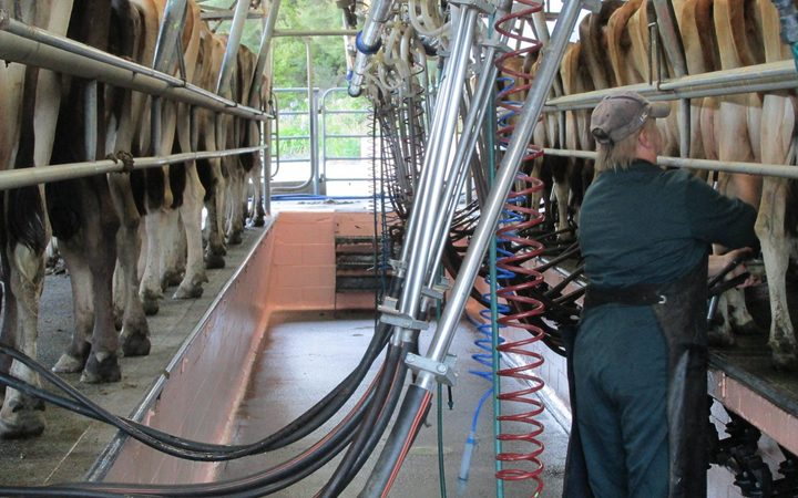 Milking at Bella Vacca in Kawakawa