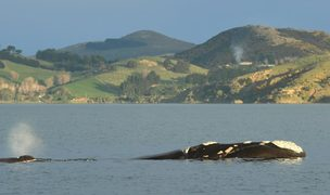 A southern right whale calf spouts while following its mother in Otago Harbour on Saturday.