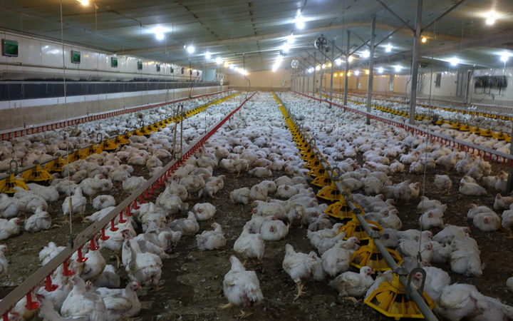 A Tegel chicken farm in Helensville.