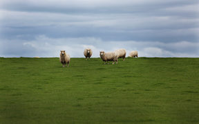 Sheep on a New Zealand farm