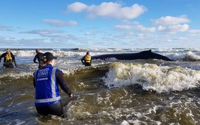 Rescuers attempt to refloat one of two stranded whales on Ripiro Beach.