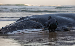 Attempts to rescue the whale after two days of being stranded at Ripiro Beach have failed.