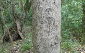 An ancient Moriori tree carving.