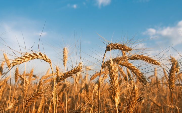 Scientists Detail Full Genome Of Wheat For The First Time