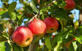 Apples on trees in an orchard