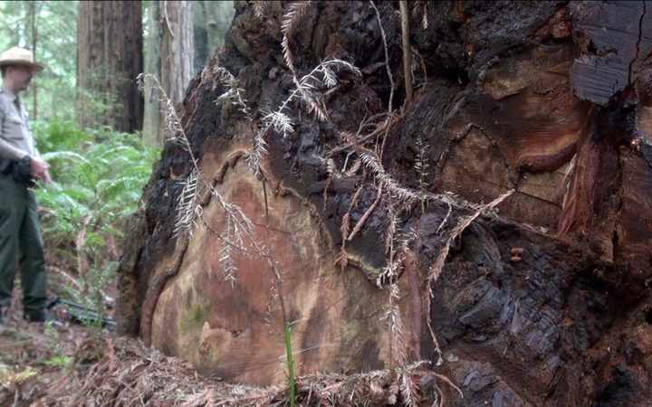 Poachers have chopped the burr (burl) from the base of this redwood.