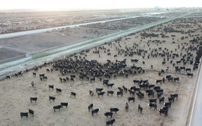 The Five Star Beef feedlot is the biggest in New Zealand.