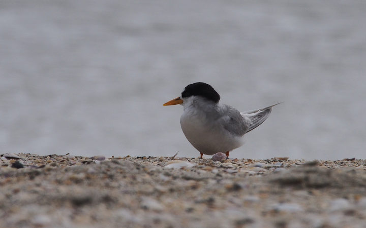 There are only 40 fairy terns left.