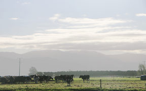 A generic herd of dairy cows on a South Canterbury farm.
