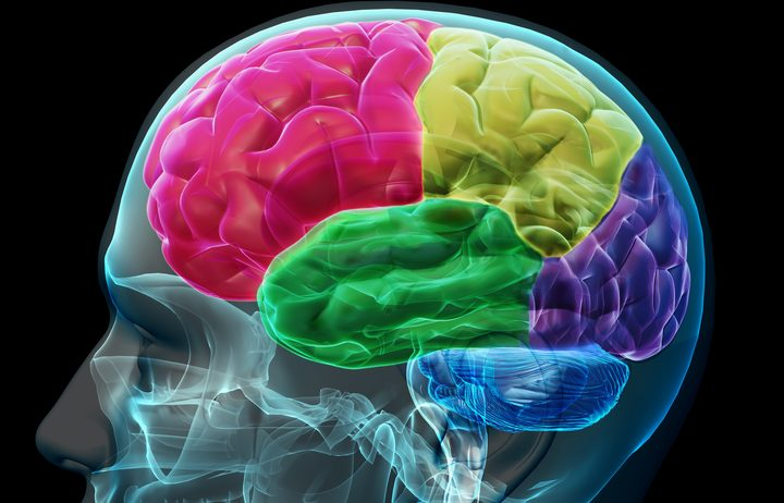concept image of colored sections of a male human brain.