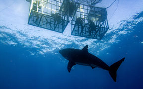Shark cage diving.