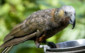 The kaka, a native New Zealand parrot, is classified as nationally vulnerable (as at February 2016).