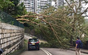 A tree in Hong Kong levelled by Typhoon Mangkhut