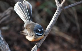 Piwakawaka or fantail are common in gardens around New Zealand.
