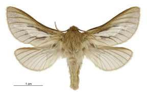 Ghost Moth - heloxycanus patricki - male