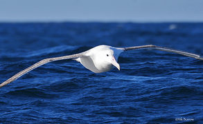In the past decade, female Antipodean albatrosses have begun spending long periods in the eastern Pacific, where they are at risk from foreign fishing fleets.