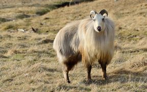 19489693 - rare white himalayan tahr bull, hemitragus jemlahicus, in the southern alps of new zealand