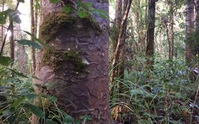 Kauri in Waipoua Forest.