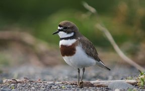 A male banded dotterel.