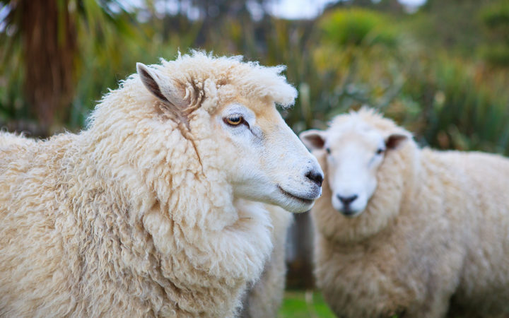 New Zealand merino sheep in rural livestock farm.
