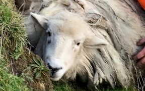 Suzy the sheep shortly after being captured, with Amie Ritchie, one of the people who caught the sheep.