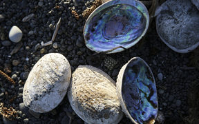 A pile of paua on the beach.