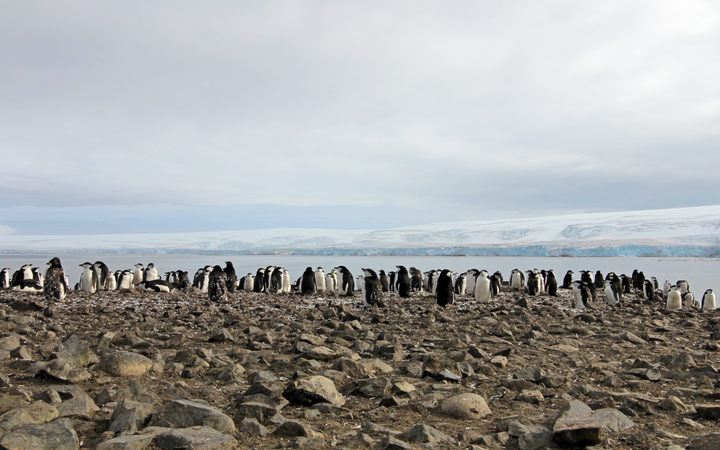 Wild chinstrap penguins standing on Antarctica Peninsula.