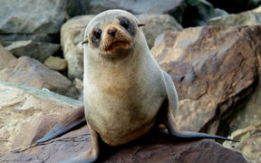 The Department of Conservation is trying to keep wildlife, like the fur seal, safe this summer.