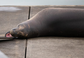 Leopad seal Owha has been spotted in the western reaches of Auckland's Waitemata Harbour.