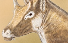 This extinct three-horn ruminant Xenokeryx amidalae has been found to be related to giraffes.