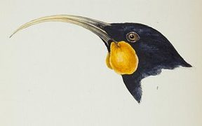A hand-coloured lithograph of a huia from John Gould's 'A Synopsis of the Birds of Australia, and the Surrounding