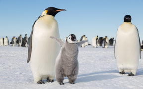 Emperor Penguin in the Weddell Sea