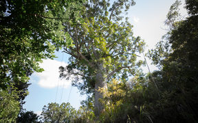 A large Kauri tree on the side of the road on the way to one of the many track entrances to the Waitakere Forest.
