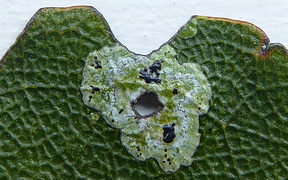 Strigula fossulicola growing around damaged tawa leaf