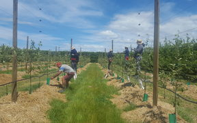 RSE workers from Samoa working in Bostock orchard, Hastings.