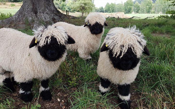 Fuzzy blacknose sheep, too cute.   Bovine   Pinterest