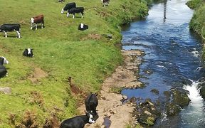 Cows in the 'sensitive' stream.