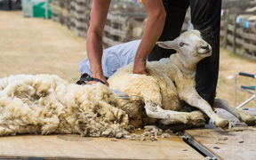 Shearing sheep.