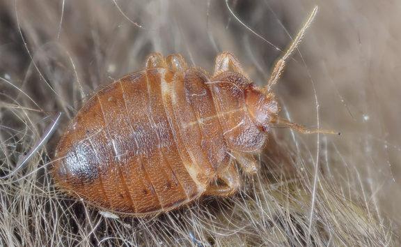 Bed Bug - Cimex lectularius