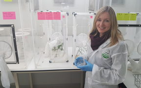 Stephanie Sopow in the secure containment lab at Scion, where she is testing how effective a parasitic wasp might be at controlling giant willow aphid.