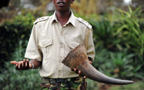 John Pameri, head of the security at the Lewa Wildlife Conservancy in central Kenya, holds a Rhino tusk his team took from a Rhino that was shot dead by poachers earlier in the week at the security headquarters on December 9, 2010.