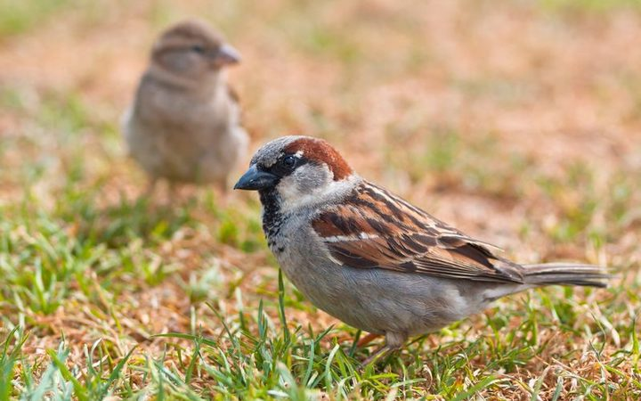 A pair of sparrows on grass (file photo)