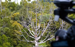 Over the Waitākere forest canopy it's not hard to see the damage kauri dieback has done.
