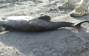 Dead dolphin found at Karioitahi beach.
