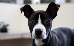 Puppies up for adoption at SPCA Auckland in Mangere.