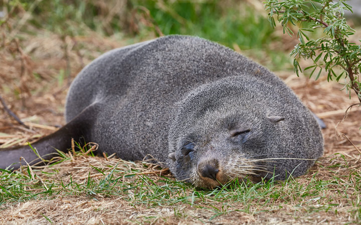 Cute young fur seal taking a nap