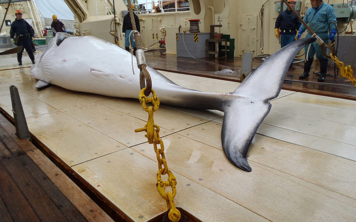 A minke whale on the deck of a whaling ship for research in the Antarctic Ocean. (Photo by Institute of Cetacean Research / FILES / AFP)